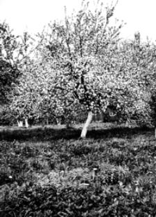 Kwitnący sad na Kątach [Fotografia]